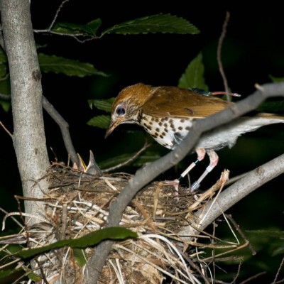 wood thrush bird