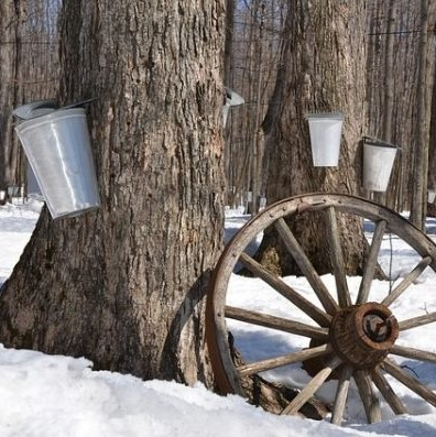 Photo of trees being tapped for maple syrup