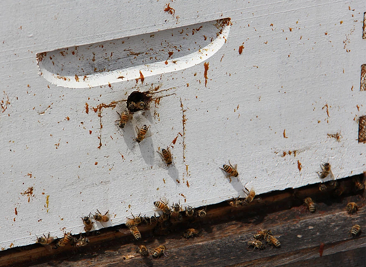 bees going in and out of hive
